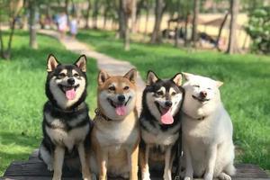 网友家养了四只柴犬 有一只每次合照就开始搞事情