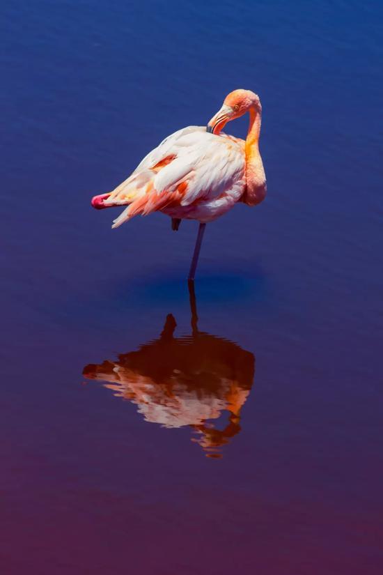 加拉帕戈斯群岛的火烈鸟