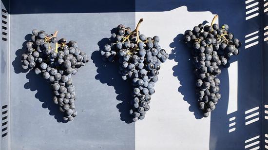 嘉隆酒庄 2018 年采收的葡萄
