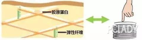 弹性纤维+胶原结构