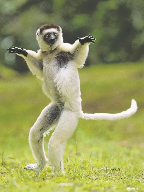 维氏冕狐猴