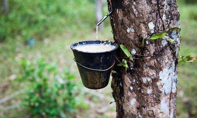 泰国南部4府橡胶树落叶病情况跟踪 并未达到非常严重的程度