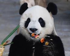 """大熊猫""""撸串""""迎接2020新年"""