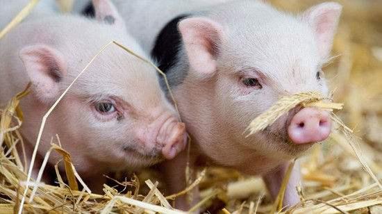 华储网:2月27日中央储备冻猪肉投放竞价交易2万吨