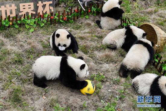 """在中国大熊猫保护研究中心卧龙神树坪基地,参加熊猫""""足球赛""""的熊猫宝宝们在""""比赛""""(新华社 6月10日摄)。"""