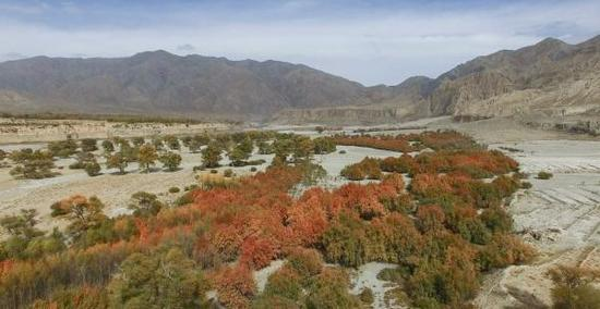 古柽柳林占地78.5公顷,有小叶杨伴生。 澎湃新闻记者 徐晓林 图