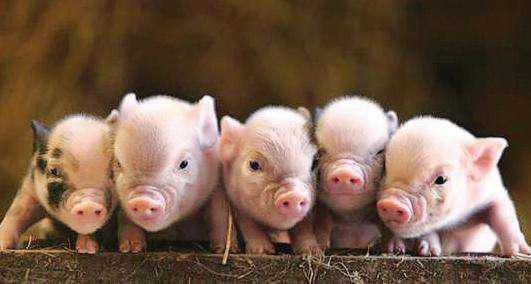 任泽平:本轮猪周期预计明年下半年迎价格向下拐点