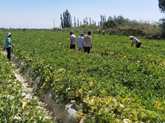 永輝技術人員深入刀郎土瓜地頭幫助農戶