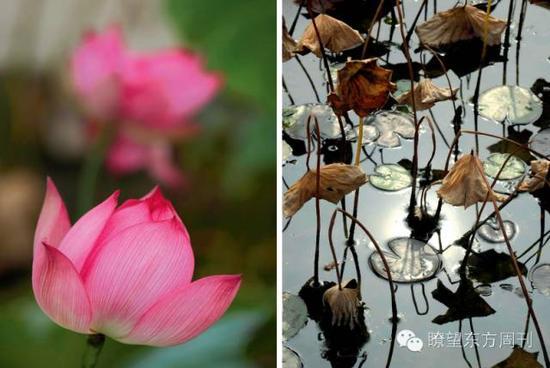 """在南京艺莲苑拍摄的残荷(右)与盛开的""""转基因荷花"""""""