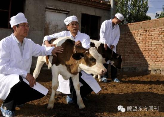 """世界首例转基因""""低乳糖奶牛""""在内蒙古农业大学诞生"""
