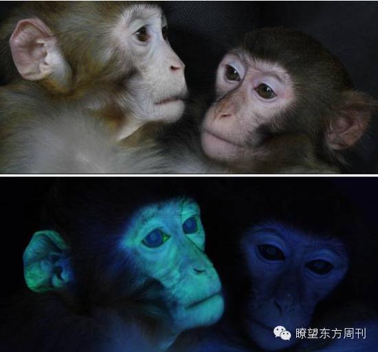 上图:转基因猕猴(左)和普通猕猴外观上没有什么区别 ;下图 :在特殊光源下,转基因猕猴(左)通体呈现绿色,这是因为它体内的绿色荧光蛋白所致
