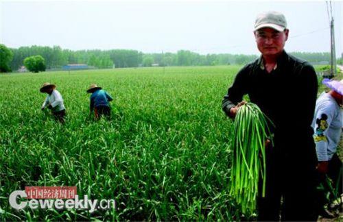 蒜农在田里抽蒜薹《中国经济周刊》记者 刘照普I 摄