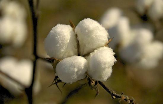 三因素聚合助推棉价上涨 后市被看好