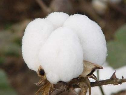 棉花期货现季节性调整需求