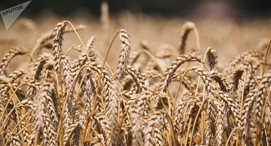 美农业部上调俄罗斯2018/19年度小麦产量预期