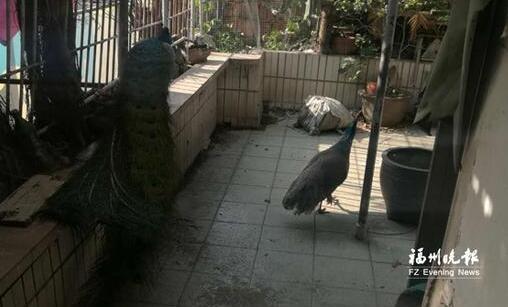 福州居民楼里养孔雀叫得比鸡早 民警说服主人送养