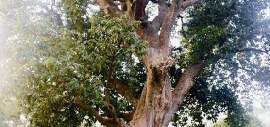 这种珍稀古树东山仅存这一棵 已有550余年的历史