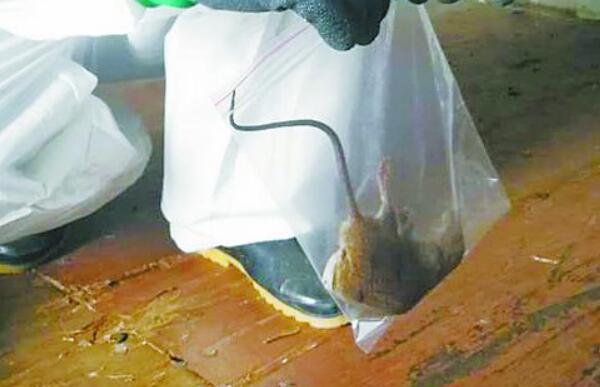 集装箱里竟有活鼠 近年来厦门口岸首次检出该类疫情