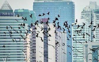 近千只鸬鹚飞越厦门筼筜湖 壮观场面