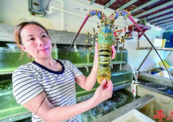 平潭渔民捕获罕见锦绣龙虾 触须长1米重约3斤