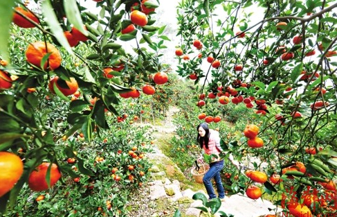 """福州将广种市树市花市果 积极推广""""福桔文化"""""""