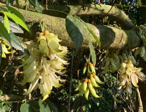 南靖土楼的禾雀花盛开,最佳观赏期在4月中旬到月底