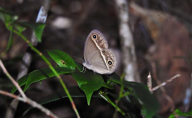 福建将乐龙栖山发现褐眉眼蝶 属国内珍稀蝶种