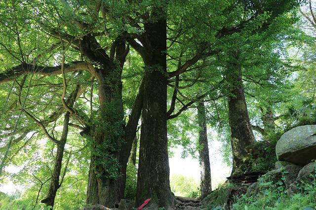 剥树皮最高罚两万 福建省古树名木保护管理办法6月1日起施行
