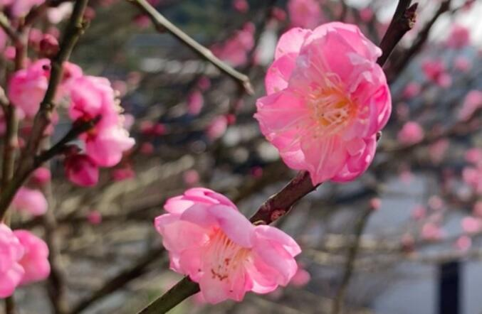 福州今日天气晴好 恰逢林阳禅寺赏梅好时节