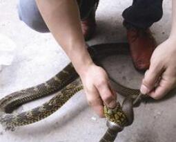 大王蛇竟吞下小王锦蛇 林业人员:这种情况很少见