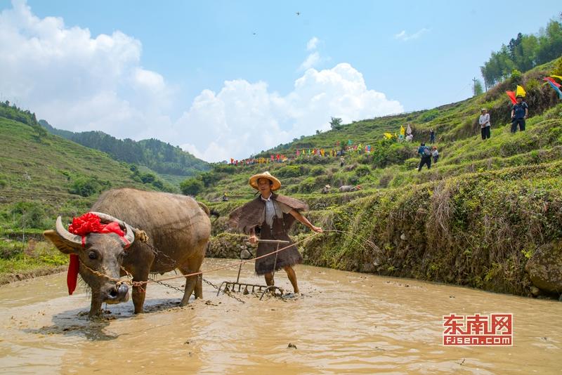 """泉州德化:""""耕牛节""""展现农耕传统文化"""