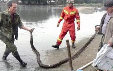 漳浦:蟒蛇偷食鸭子被困渔网 天气变暖出门散步