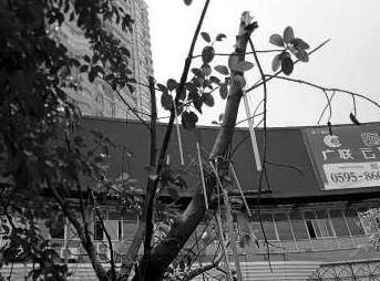 南安市区郑成功雕像旁景观树被破坏 部门:涉嫌违法