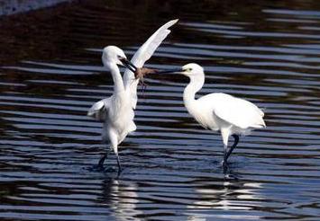 观鸟赏花正当时 闽江河口湿地候鸟累计达5万余只