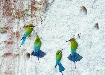 最美候鸟回厦数量创新高 五缘湾迎来栗喉蜂虎筑巢繁殖