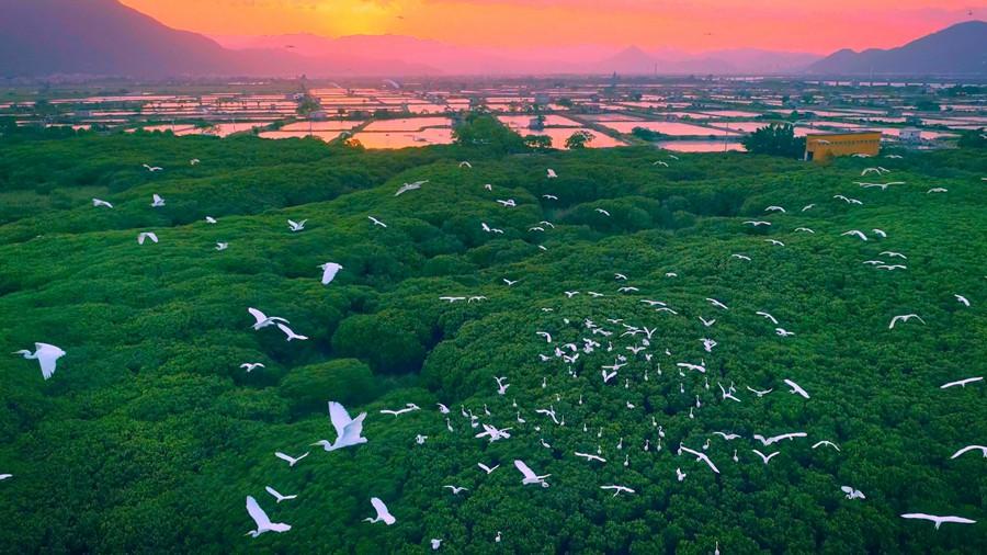 福建漳江口红树林成候鸟栖息天堂