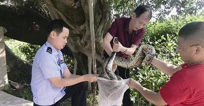 """漳州:三米长大蟒蛇为""""避暑"""" 爬大榕树上""""乘凉"""""""