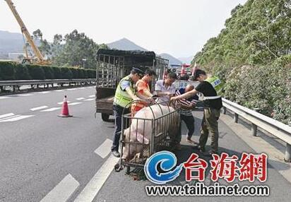 """漳州:""""二师兄""""高速上破圈跃出 众人请猪入笼"""