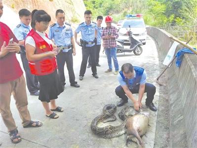 泉州安溪:4米长蟒蛇吞羊 吓坏路人