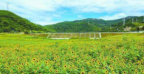 海沧坞窟水库50亩向日葵陆续绽放 花期持续至7月初
