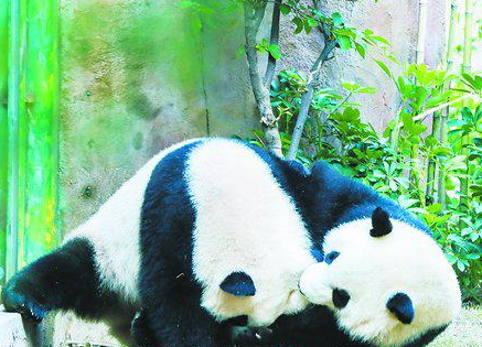 """厦门周末降温刮风""""玩""""速冻 大熊猫开心到打滚"""