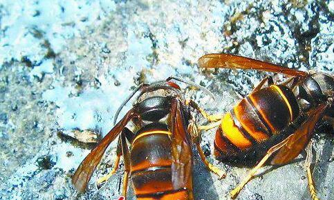 后颈一阵刺痛一拍竟是马蜂 这3种马蜂在厦门最常见