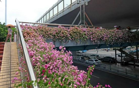 3000株三角梅、15万盆各色草花已就位,为迎接这场盛会…