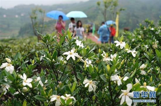 6月2日,游客在福鼎市贯岭镇茗洋村栀子园参观栀子花。
