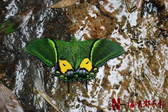 厦大学生拍摄到的金斑喙凤蝶