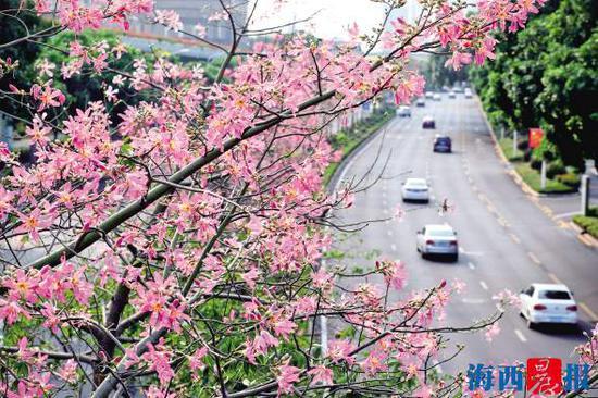 莲前西路沿线,美丽异木棉盛开,一片繁花似锦。记者陈理杰摄