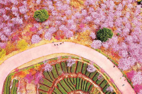 南靖土楼景区的紫云山生态庄园内,漫山遍野的樱花竞相绽放。林辉 摄