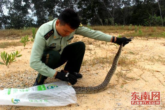 民警解救蟒蛇(杨彬龙摄)