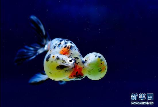 """5月29日,这是参加""""水泡""""组比赛的金鱼""""选手""""。"""
