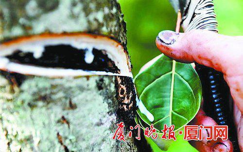 ■割开漆树皮流出白色汁液。 资料图